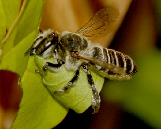 Leafcutter Bee, cutting a leaf