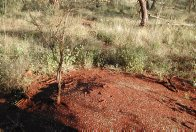 Mulga ants 'weeding' around an acacia