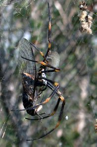 Golden Orb Weaving Spider with cicada in web