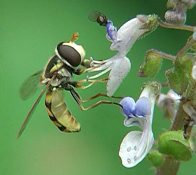 Hover fly feeding on nectar