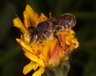 Leafcutter bee, covered in pollen
