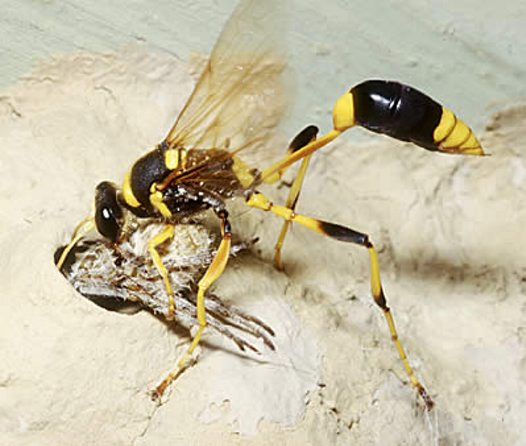 Mud-dauber wasp placing spider in nest