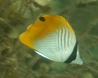 Juvenile Threadfin Butterflyfish at Red Rock Estuary