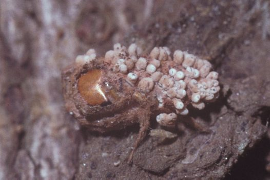 Parasitised jumping spider