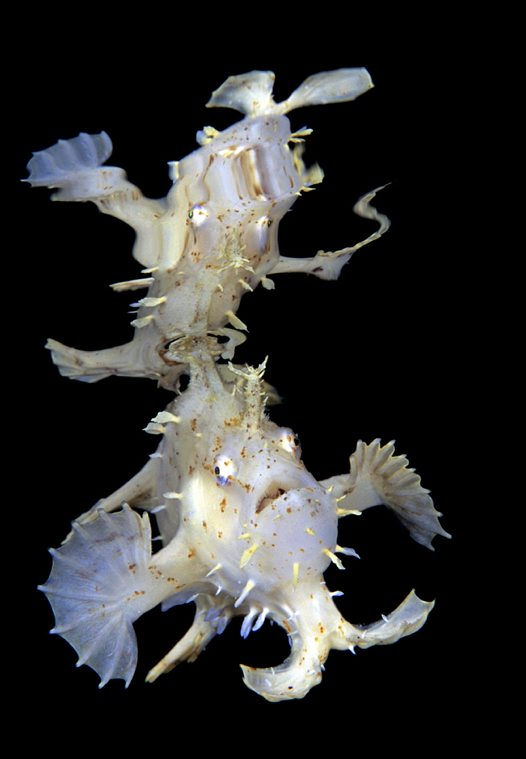 Sargassum Anglerfish at Manado