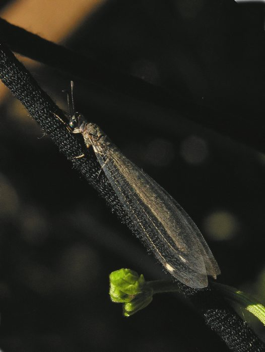 Adult antlion lacewing