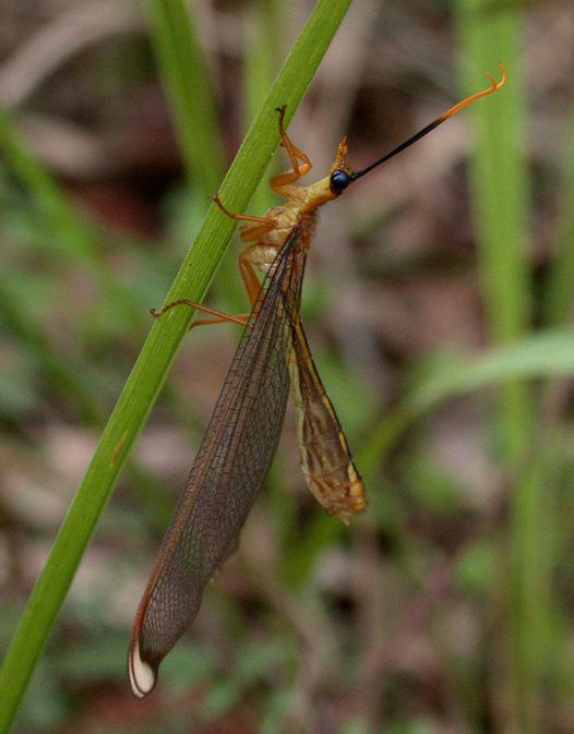Blue-eyes Lacewing on grass stalk