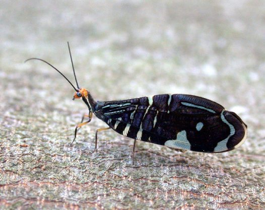 Hairy-winged Lacewing