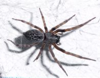 Black House Spider, Badumna sp.