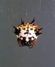 Six-spined Spider, Austracantha minax