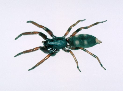 What Does A White Tail Spider Bite First Look Like White-tailed Spider - ...