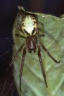 Leaf Curling Spider (adult), Phonognatha graeffei