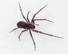 Cave spider, Stiphidion sp.