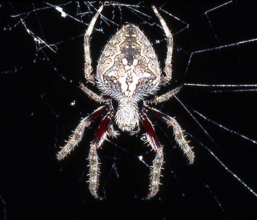 Garden Orb Weaving Spiders Australian Museum