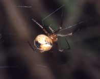 Comb-footed Platform Spider Achaearanea mundula