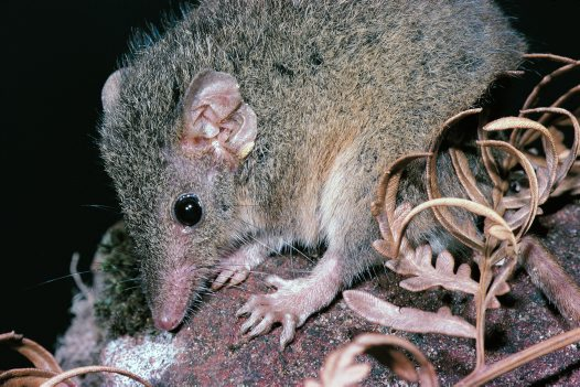 Northern Brown Antechinus