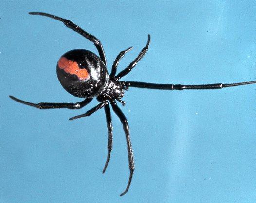 red back spider