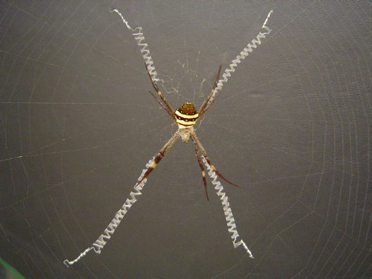 St Andrew's Cross Spider, Argiope keyserlingi
