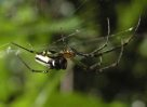 Silver Orb-weaving Spider, Leucauge sp.