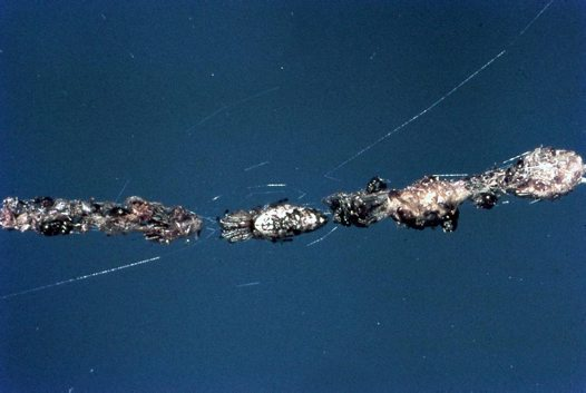 Cyclosa sp. with web debris
