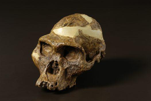 Australopithecus definicion yahoo dating
