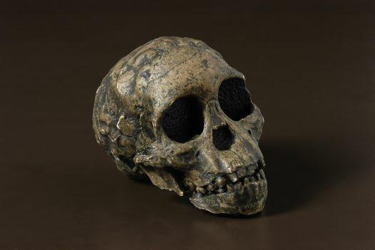 Resultado de imagen de australopithecus africanus taung child
