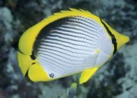 Blackback Butterflyfish at Pixie Gardens