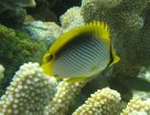 Blackback Butterflyfish at Lady Elliot Island