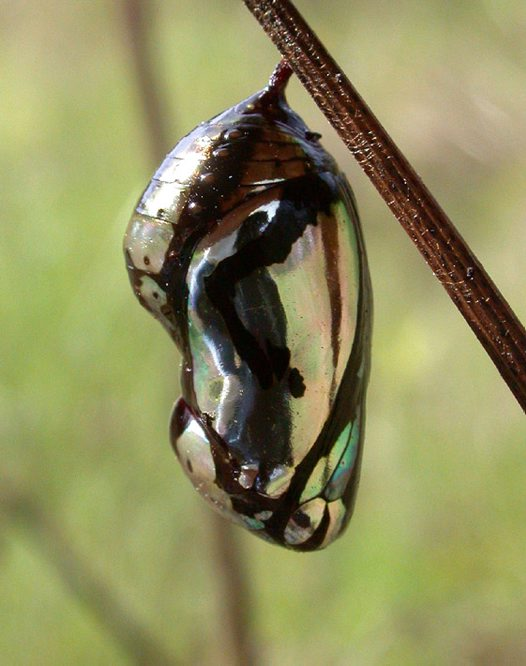 Common Crow Butterfly, chrysalis