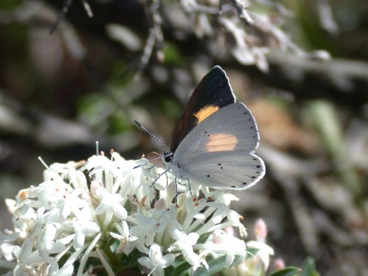 Common Dusky Blue