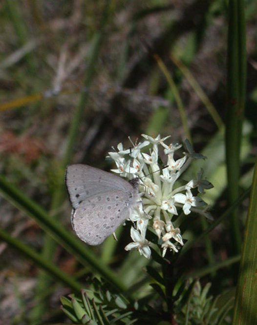 Common Grass Blue, side view