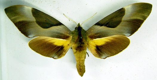 Double-headed Hawk Moth specimen