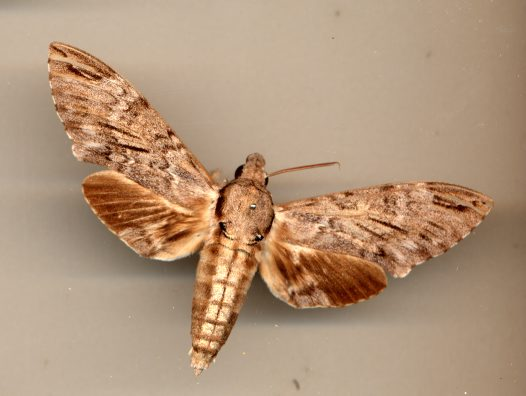 Privet Hawk Moth specimen