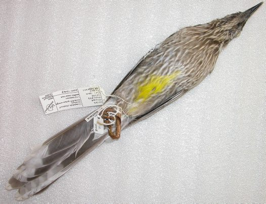Red Wattlebird skin (ventral view)