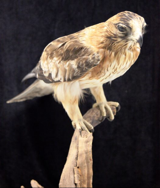 Little Eagle mounted specimen
