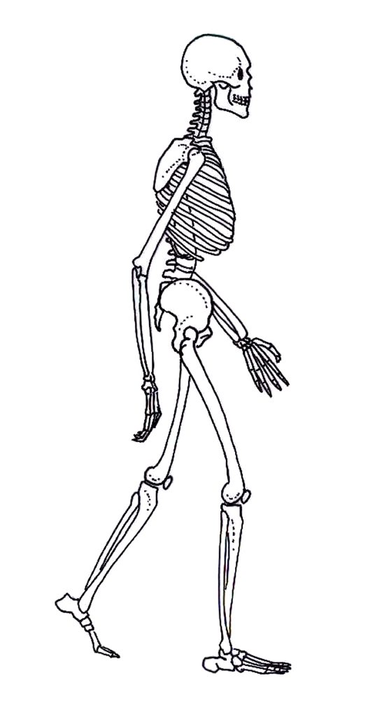Skeleton of a modern human
