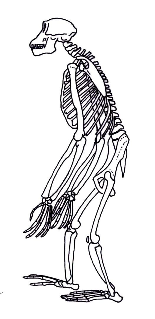 Skeleton of a chimpanzee