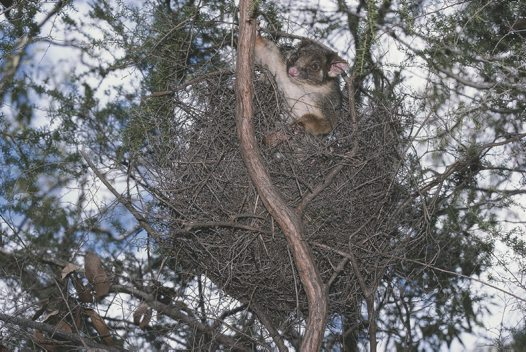 Ringtail Possum in drey