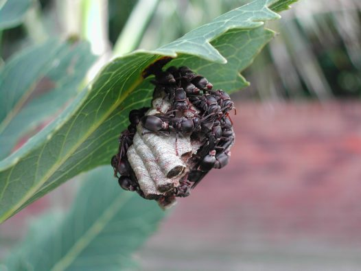 Paper wasps on nest under leaf
