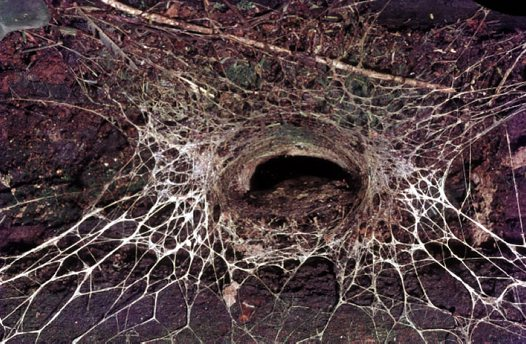 Blue Mountains Funnel-web burrow with triplines