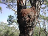 Termite nest in tree fork