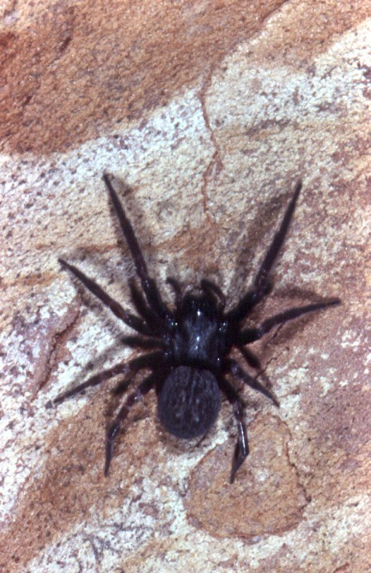 Black House Spider on bark