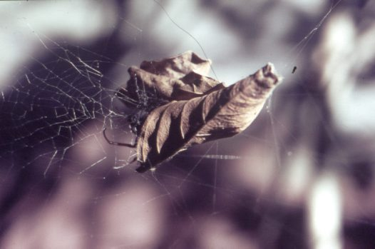 Leaf-curling Spider in retreat