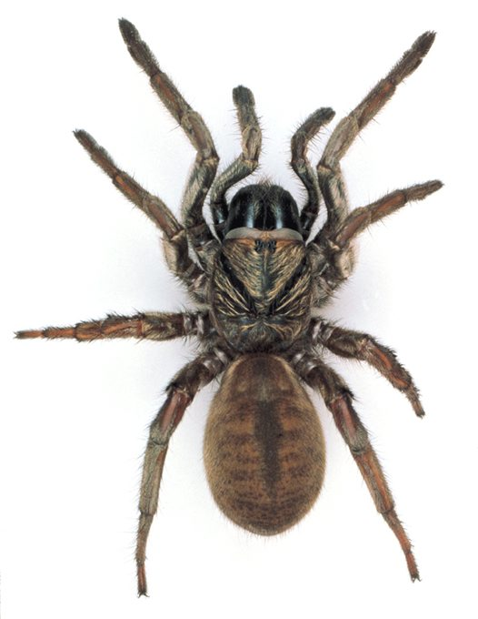 Sydney Brown Trapdoor Spider, female - Australian Museum