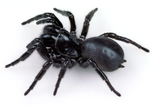 Blue Mountains Funnel-web Spider, female