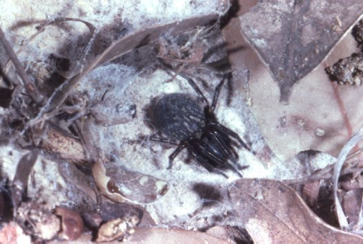 Black House Spider in sheet web