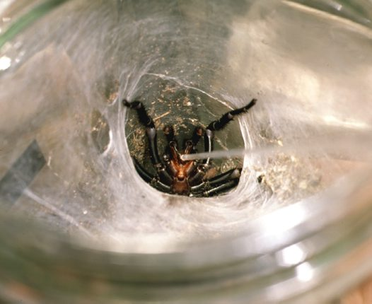 Collecting funnel-web spider venom