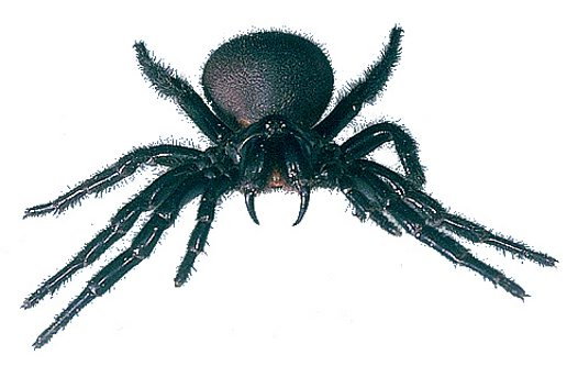 Funnel-web spider, full frontal