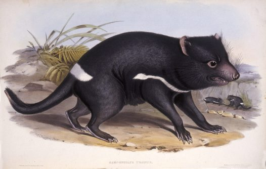 Tasmanian Devil on Animal Life Cycle