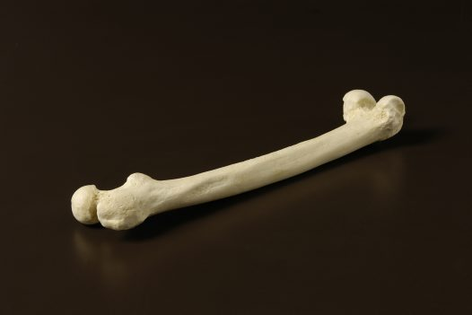 Upper leg bone of a Neanderthal